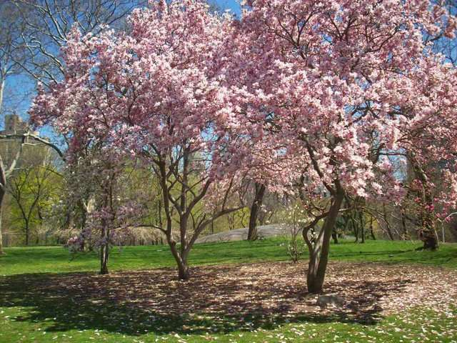 central-park-cherry-blossoms